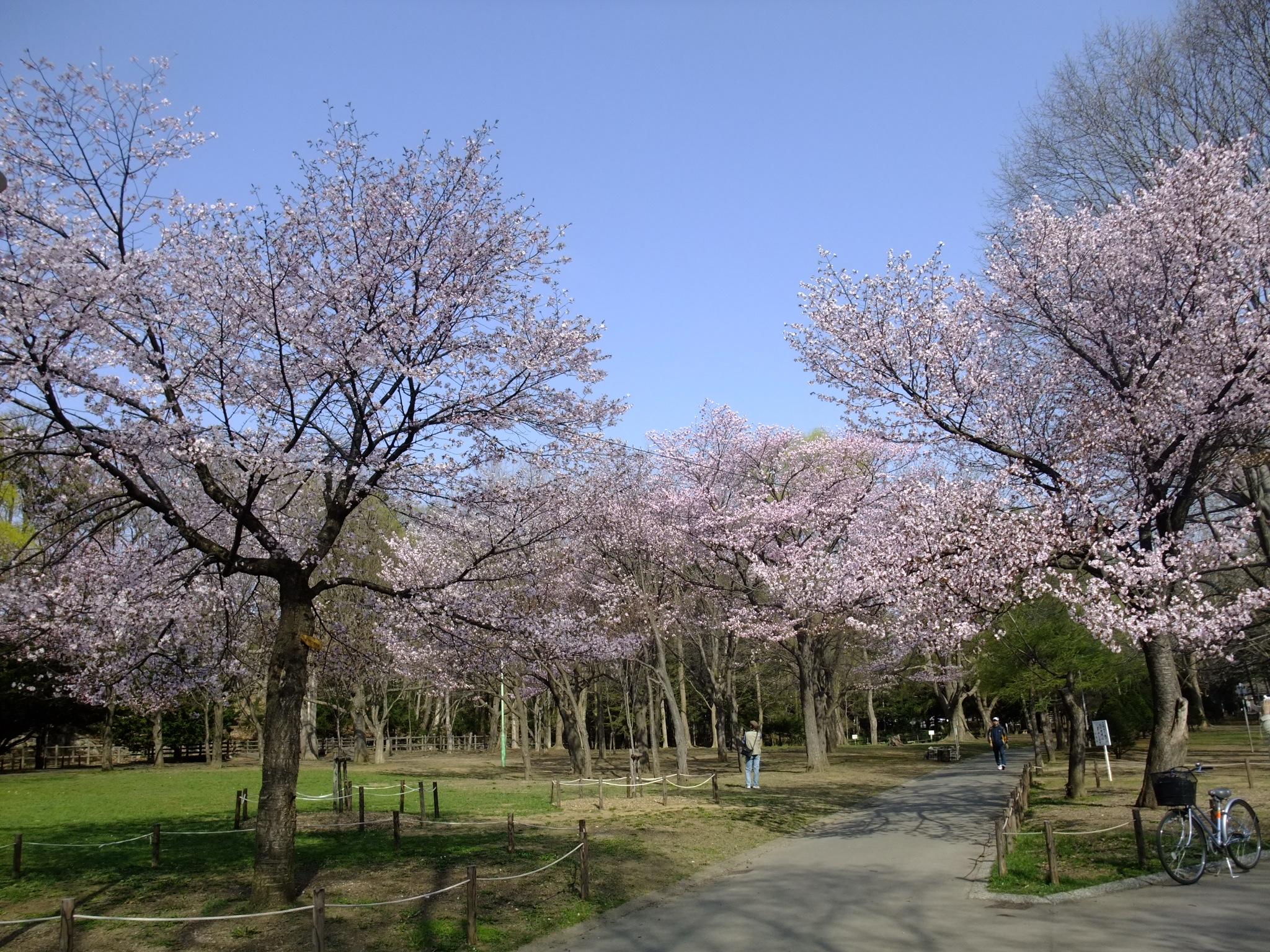 桜スポット④