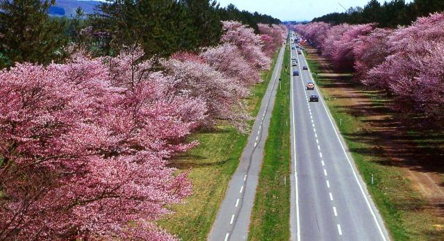 桜スポット⑦