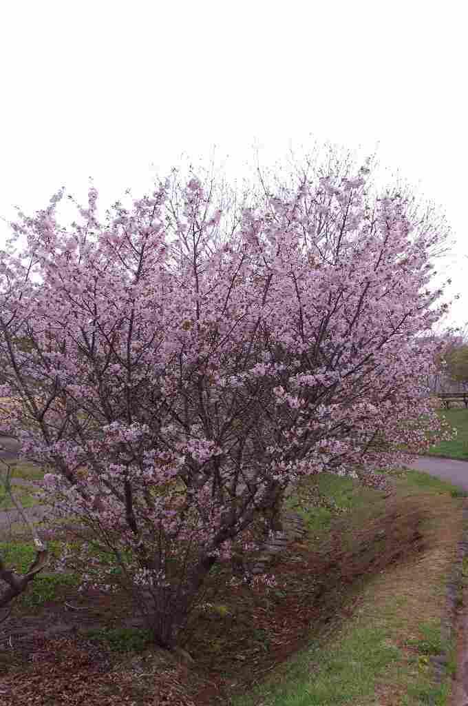 桜スポット⑪