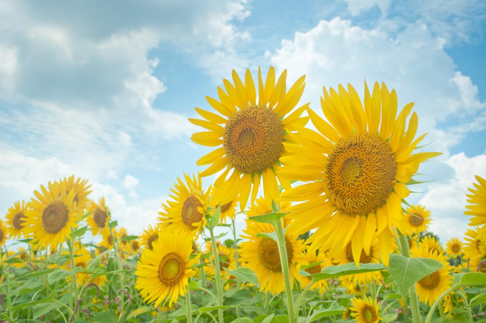 summer himawari