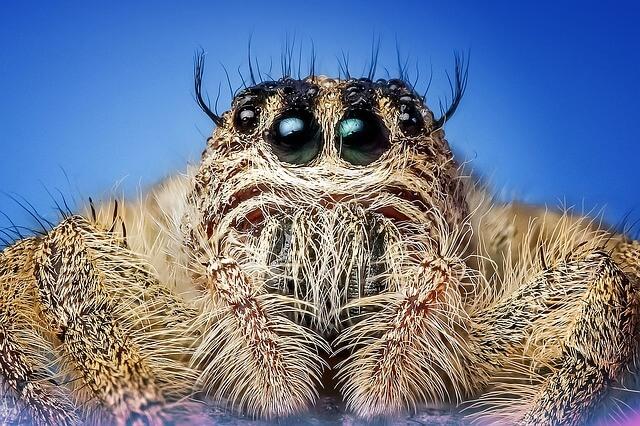 jumping-spider-1127626_640-spider