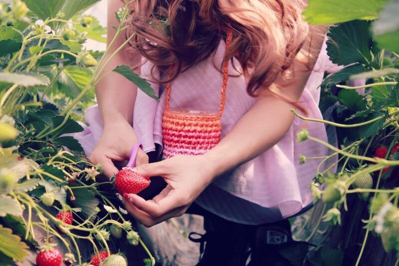 イチゴ狩り&スーパーのコツ!美味しい新鮮な苺の見分け方と選び方をご紹介します!