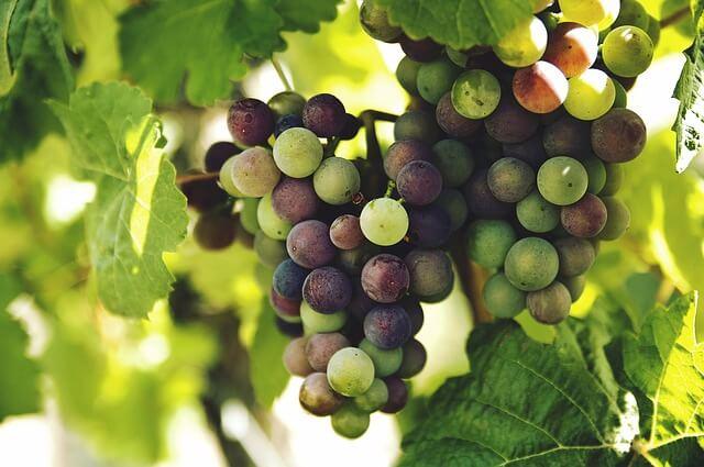 ブドウ狩りもOK!美味しいブドウの選び方や鮮度の見分け方についてご紹介!