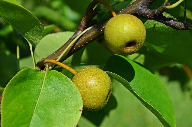 梨狩りで美味しい梨を見分ける方法と選び方を伝授!スーパーでの買い物もOK!